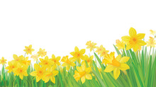Vector Of Daffodil Flowers Iso...