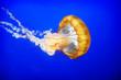 Leinwandbild Motiv Orange jellyfish (Chrysaora fuscescens)
