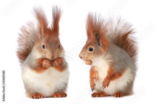 Foto op Canvas Eekhoorn squirrel