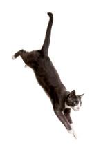 Gray Cat Serie, Jumping Cat