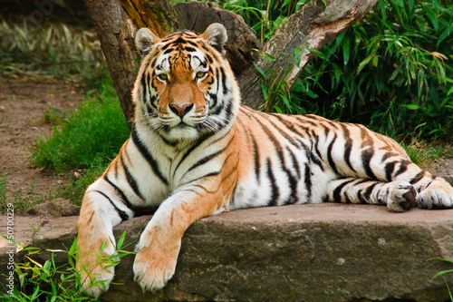 Foto auf AluDibond Tiger Sibirischer Tiger (Panthera tigris altaica)