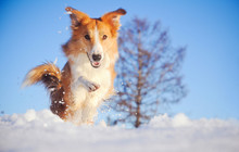 Dog Border Collie Playing In W...