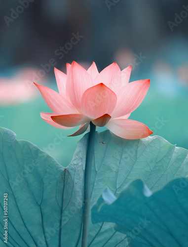 Staande foto Lotusbloem blooming lotus flower