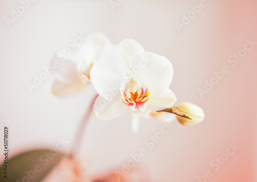 white orchid - 50718029