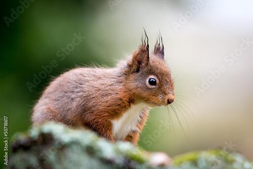Printed kitchen splashbacks Squirrel Red Squirrel Thinker