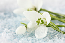 Bouquet Of Snowdrop Flowers, O...