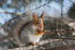 Squirrel that eateth up the nuts