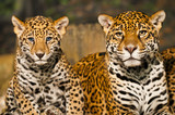 Fototapeta Animals - Jaguar Family