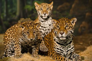 Fototapeta Jaguar Family