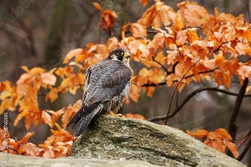 Canvas Print - falcon