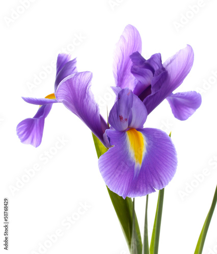 Foto op Plexiglas Iris Purple iris flower, isolated on white