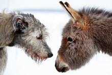 Irish Wolfhound Dog And Donkey