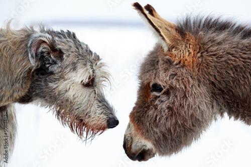 irish wolfhound dog and donkey Canvas Print