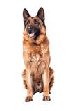 Portret wilczura niemieckiego