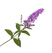 Spray Of Purple Flowers From A Butterfly Bush Against White