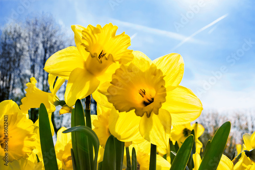 Papiers peints Narcisse Yellow Narcissuses skyline.