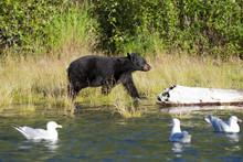 A Black Bear Looking A Seagull...