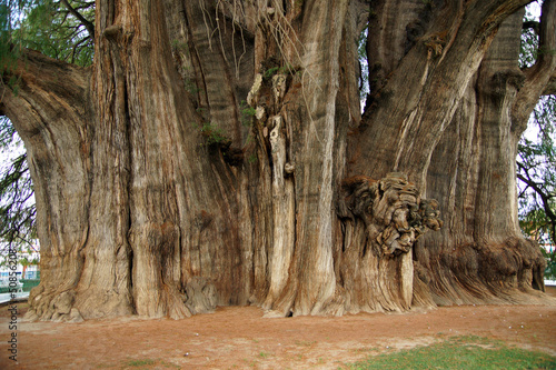 Valokuvatapetti arbre de thule