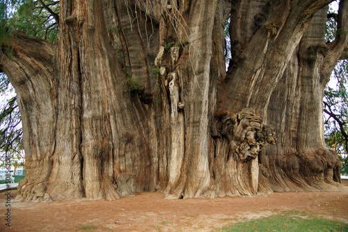 Valokuva  arbre de thule