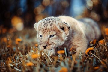 Fototapeta na wymiar African lion's whelp goes hunting