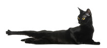 Bombay Cat Lying, Stretching A...