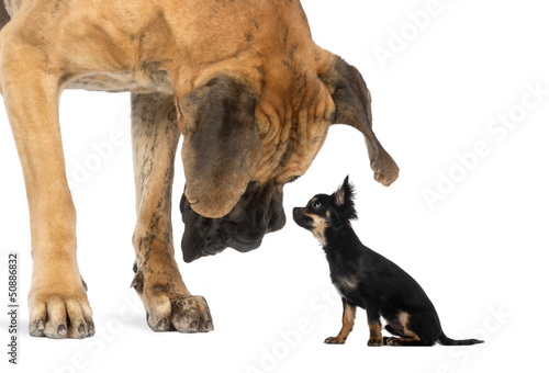 Fotografia  Great Dane looking at a Chihuahua sitting, isolated on white