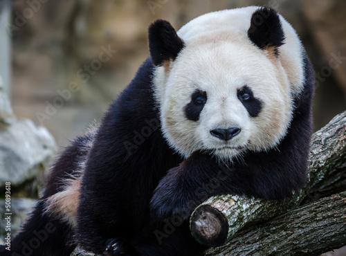 Stickers pour portes Panda panda beauval