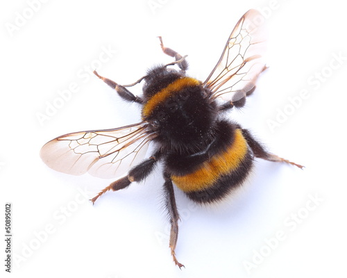 Leinwand Poster bumblebee isolated on white
