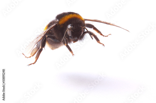 Photographie flying bumblebee. closeup