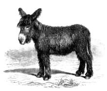 Young Donkey - Ânon Du Poitou - Esel