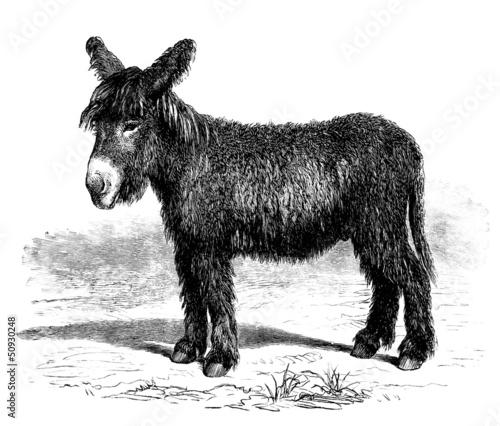 Fotografie, Tablou Young Donkey - Ânon du Poitou - Esel