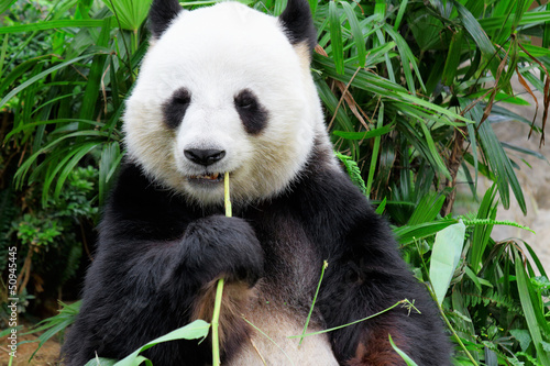 Stickers pour portes Panda panda eating bamboo leaf