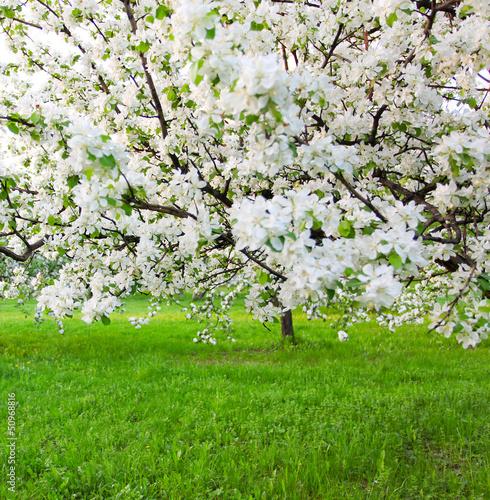 Fototapeta premium Kwitnące jabłonie nad błyszczącym niebieskim niebem w wiosna parku