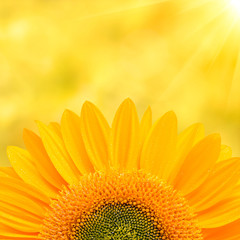 FototapetaSunflower Background