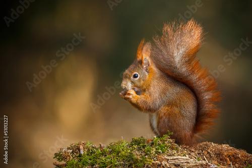 Foto op Canvas Eekhoorn Red squirrel classic pose