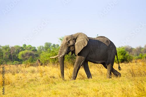 Photo  Large African Elephant