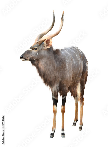 Poster Antilope nyala isolated on white background