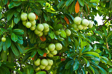 Cerbera Oddloam Fruit On Tree.