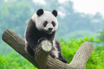 Fototapeta Giant panda bear climbing in tree