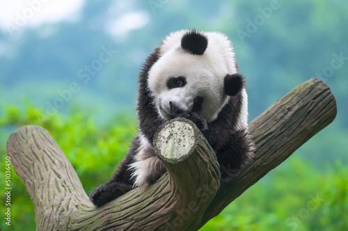 Stickers pour porte Panda Panda bear sitting in tree