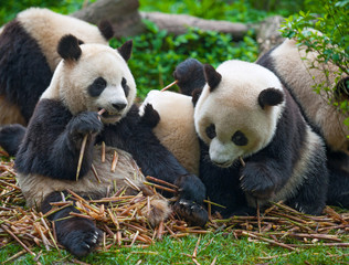 Fototapeta Panda bears eating together