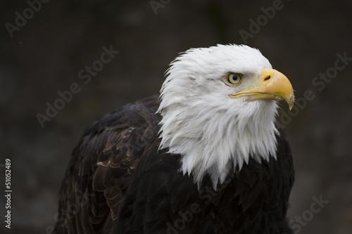 In de dag Eagle Seeadler