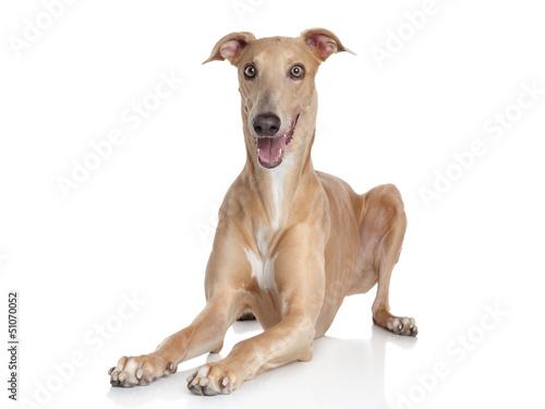 Canvastavla Italian Greyhound