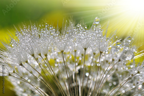 Poster Dandelions and water dewy dandelion