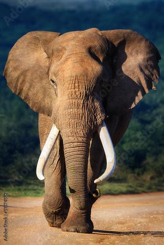 Foto op Aluminium Olifant Elephant approaching