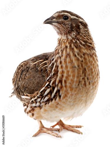 Fotomural Brown quail