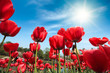 canvas print picture - red tulips under blue sky