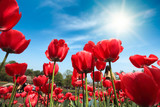 red tulips under blue sky