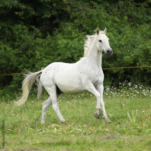 Fototapety, obrazy: English full blood horse running on pasturage