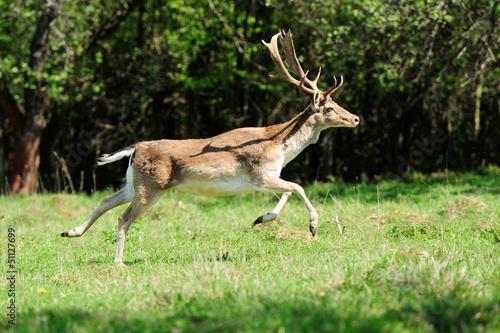 Fotobehang Ree Jumping roe deer on a meadow
